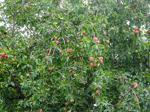 Apple-tree, 2018 Aug 28