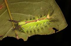 """Stinging Nettle Slug Caterpillar (Cup Moth, Limacodidae) """"Blaze"""" (John Horstman (itchydogimages, SINOBUG)) Tags: insect macro china yunnan itchydogimages sinobug entomology cup moth lepidoptera limacodidae caterpillar larva slug stinging nettle canon blaze"""