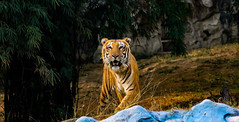 Here I am..This is me!!! (Bodhisotto) Tags: tiger wildlife royal bengal royalbengaltiger maletiger zoo photography stripesofgold stripes save canon80d