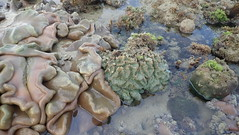 Grooved brain coral (Symphyllia sp.) (wildsingapore) Tags: pulau semakau east cnidaria symphyllia mussidae scleractinia island singapore marine coastal intertidal shore seashore marinelife nature wildlife underwater wildsingapore