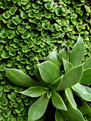 P1060021 (Hiker Bob) Tags: 20190220 bryophytes dudleyalanceolata lanceleafdudleya liverwort meanderthals sangabrielmountains sangabrielriver westfork