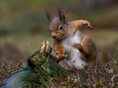 Red Squirrel (burnsmeisterj) Tags: olympus omd em1 squirrel redsquirrel wildlife animal scotland