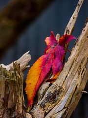 Finding the Fallen (Steve Taylor (Photography)) Tags: brown red yellow closeup wood newzealand nz southisland canterbury christchurch leaf tree branch broken snapped