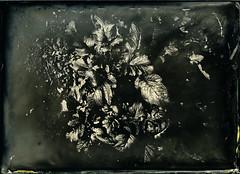 Weeds (Blurmageddon) Tags: largeformat 5x7 osaka120mmf63 wetplatecollodion alternativeprocess johncofferdeveloper newguycollodion landscape senecaimprovedview uvphotographics tintype alumitype epsonv700