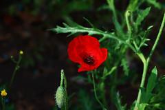 Poppy flower 4 (benrokh) Tags: m50 stm canonm50 eosm50 55250 55250stm is
