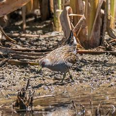 Australian Spotted Crake (Porzana fluminea) (Keefy2014) Tags: australian spotted crake porzana fluminea lake mclarty