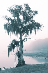 Waiting for the sun (Loopodude) Tags: tree cypresstree spanishmoss water lake fog foggy tinted organic growth life outdoors nature libertypark inverness florida canont2i canonefs1855mm