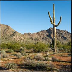 A New Day (greenschist) Tags: creosote usa sonorandesert mountains carnegieagigantea arizona saguaro pinalcounty santanmountainregionalpark