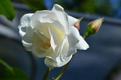 Белоснежная как снег. (Angelok-Happy) Tags: роза весна нежность красота природа сад rose spring beauty tenderness nature garden