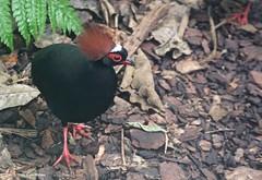 EN8A4954 (Karin Michies) Tags: botanischetuinen botanischetuinenutrecht universiteitutrecht utrechtuniversity botanicalgardens vogel bird dier animal roulroul crestedpartridge redcrownedwoodpartridge partridge razenderoeltjes