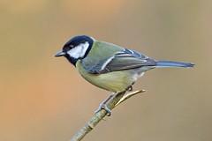 Great tit (douglasjarvis995) Tags: 150450 k1 pentax greattit wildlife wild nature animal bird