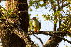 African Green Pigeon, Sweni Road, Kruger National Park, Jan 2019 (roelofvdb) Tags: 2019 361 africangreenpigeon date january knp pigeon pigeonafricangreen place satara southernafricanbirds year