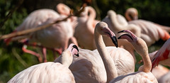 The pink ladies in a busy conversation ... (Photostreamkatwijk) Tags: flamingos vogels lichtroze dieren kleurrijk familie donskleed birds pinkgray feather animals groups buitenfotografie