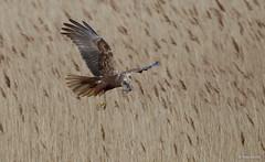 Marsh Harrier female -9931 (Theo Locher) Tags: birds bruinekiekendief busarddesroseaux circusaeruginosus marshharrier oiseaux rohrweihe vogels vögel nederland netherlands copyrighttheolocher