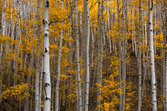 Golden Aspen Forest (NickSouvall) Tags: aspen tree trees forest forestry white bark trunk yellow golden gold leaves leaf fall autumn foliage color colorful colorado mountain wilderness nature landscape soft light