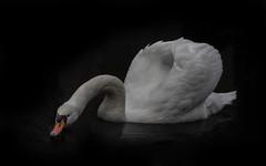 Der Höckerschwan... (angelika.kart) Tags: natur vögel tiere schwan schwäne wasservogel federkleid briese briesetal wildlife