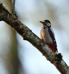Pic épeiche (guiguid45) Tags: nature sauvage oiseaux bird picidés forêt bois loiret d810 500mmf4 nikon picépeiche piciformes dendrocoposmajor affût