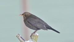 Blackbird 42 (svartþröstur) (Svenni and his Icelandic birds.) Tags: blackbird svartþröstur turdusmerula