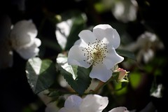 Europa Nostra      Kodak Anastigmat  63mm  1;2.7 (情事針寸II) Tags: 白 クローズアップ 自然 花 薔薇園 薔薇 cmountlens light bokeh white closeup nature fleur flower rosegarden rose kasteelcoloma kodakanastigmat63mm127