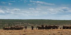 DSC08877 (Paddy-NX) Tags: 2019 20190109 addoelephantnationalpark africa elephant sony sonya77ii sonyalpha sonyalphaa77ii sonysal70300g southafrica wildlife