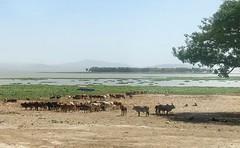Ethiopia (Omo Valley) Grazing animals (ustung) Tags: grass goat cow herd animal grazing lake landscape oromia omo ethiopia