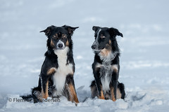 Brothers (Flemming Andersen) Tags: brothers thor nature dog bordercollie outdoor pet hund frisbee animal trojanovice moraviansilesianregion czechrepublic cz