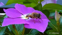 WP_20180615_09_50_37_Pause_Zzzzzz (orsapolaris54) Tags: macro macrophotography photography bee insekten insect insectphotography flowers flower flowercolors flowerpower nature naturephotography ape fiore vinca closeup
