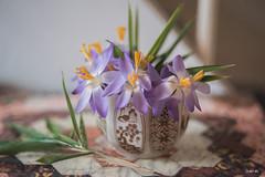 Crocus... (odile lm) Tags: crocus teacup bamboo leaves old quilt calendar helios lens