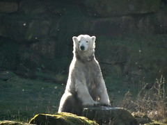 Glow-lar bear (LadyRaptor) Tags: yorkshirewildlifepark yorkshire wildlife park doncaster ywp nature outdoors winter time sunny sun shine shining bright glow glowing radiant light grass rock rocks rocky shore shade floating seeds sat sitting down looking watching relaxing chilling relaxed happy content cute animal animals predator carnivore caniformia ursidae polarbear polarbears male polar bear bears ursus maritimus projectpolar nobby