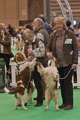 Diary_2016_041 (evinrisca) Tags: crufts welsh springer spaniel dogshow wsscsw