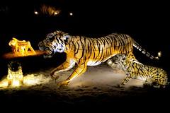 Tiger Lantern (adamwhitehead94) Tags: lightroom tiger lantern zoo night christmas chester animals canon 1300d