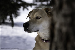 10-52: Inner wolf (Dave (www.thePhotonWhisperer.com)) Tags: dog rescue rescuedog 52weeksfordogs 52weeksforagnes fairy tale bigbadwolf