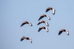 Formation Flying! (Linda Martin Photography) Tags: bird circleb usa dendrocygnaautumnalis wildlife blackbelliedwhistlingducks nature florida naturethroughthelens alittlebeauty coth5