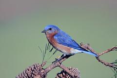 Eastern Bluebird (Alan Gutsell) Tags: easternbluebird eastern bluebird songbird park pine alan nature wildlife texasbirds texas photo camera canon gulf coast tree