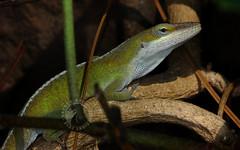 Lounge Lizard (Randy E. Crisp) Tags: randyecrisp randycrisp recrisp photography canon100mm canon450d irvingtexas march brush tree treetop sticks stump spring adult male wild