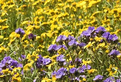 Superbloom at the edges of the Carrizo Plain Soda Lake. (Ruby 2417) Tags: phacelia goldfields yellow purple wildflowers flowers spring superbloom bloom carrizo plain soda lake