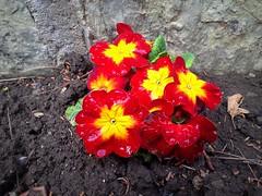 Primrose (Anna Gelashvili) Tags: primrose примула цветы flowers garden ყვავილი ყვავილები ფოთლები цветочки сад plant soil почва растение leaf macro bright лист макрос яркий flower
