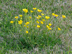 Patch Of Buttercups. (dccradio) Tags: lumberton nc northcarolina robesoncounty outside outdoor outdoors grass lawn greenery flower floral flowers buttercup buttercups yellowflowers march spring springtime sunday morning sundaymorning goodmorning yard ground nature natural sony cybershot dscw830