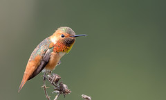 Allen's Hummingbird (m) (Becky Matsubara) Tags: alhu allenshummingbird avian bird birds california colibrídeallen ebrpd eastbayregionalparks hummingbird nature outdoors pointpinole pointpinoleregionalshoreline ptpinole selasphorussasin wildlife ebparksok