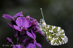 Male Orange Tip Butterfly (Phil Bloxham) Tags: wildlife gardenwildlife beauty stunning serene nature peaceful