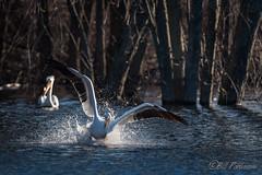 20190408-DSC_7323.jpg (GrandView Virtual, LLC - Bill Pohlmann) Tags: bird americanwhitepelican wisconsin wildlife waterfowl stcroixriver northhudsonwi