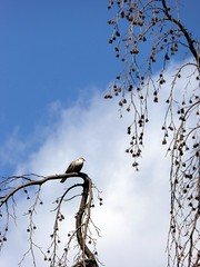 domani l'andrò a trovare ;-) (fotomie2009) Tags: tortora dove turtle bird uccello fauna animal tortoradalcollare