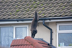 Jumping bandit (Caulker) Tags: jump cat roof house hunter
