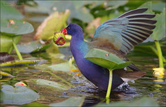 breakfast is served. (evelyng23) Tags: ochopee florida usa porphyriomatinicus purplegallinule birding avian nature wildlife bird feeding hunting waterlillybud enp everglades evergladesnationalpark sigma 150500mm aficionados pentaxk3 pentax 2018 december winter evelyng23