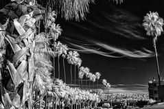 Palm Trees And Clouds Over La Jolla - Infrared in Black And White (Bill Gracey 22 Million Views) Tags: infrared infraredphotography silverefexpro ir convertedinfraredcamera clouds palmtrees lajolla sandiego blancoynegro blackandwhite noiretblanc sky pacificocean highcontrast mono monochrome