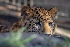 Amur Leopard cub (Bob Worthington Photography) Tags: zoo122918 sandiegozoo canon7dmarkii canon70200f28lisii