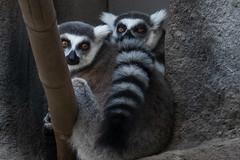 Ring-Tailed Lemurs (Bob Worthington Photography) Tags: zoo122918 sandiegozoo canon7dmarkii canon70200f28lisii