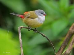 Yellow-bellied Waxbill Coccopygia q. quartinia (nik.borrow) Tags: bird waxbill estrildid