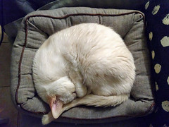 GATO NUS (LOISA FE) Tags: gato cat mascota family pet blanco amigo friend relax calm siesta calma animal home hogar casa sueño dream tenderness tierno