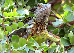 Tree iguana (thomasgorman1) Tags: iguana reptile animal nature island pest invader tree canon leaves wildlife nuisance green cayman caribbean